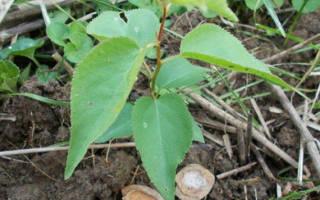 Как из косточки абрикоса вырастить плодоносящее дерево?