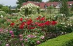 Куда лучше посадить розы на даче?