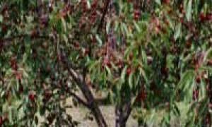 Обрезка черешни весной и осенью – готовимся к урожаю!