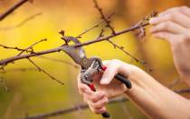 Как обрезать саженец вишни при посадке?