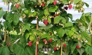 На каком расстоянии сажать малиновое дерево?