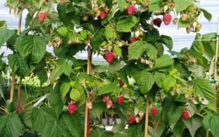 Как подготовить к зиме малиновое дерево?