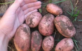 Картофель Лаура – популярный результат немецкой селекции