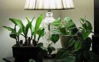 Комнатные цветы растущие в полутени и тени