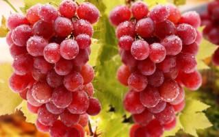 Зимостойкий неукрывной виноград – сорта для Подмосковья
