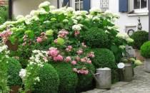 Где посадить гортензию в тени или на солнце