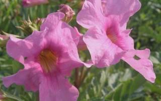 Глоксиния многолетняя садовая