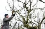 Подготовка к зиме саженцев плодовых деревьев