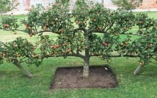 Уход за стелющейся яблоней в Сибири