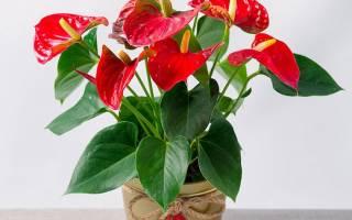 Комнатные цветы антуриум уход в домашних условиях