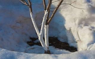 Как правильно побелить дерево?
