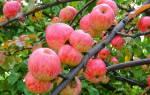 Яблони осенние сорта для средней полосы