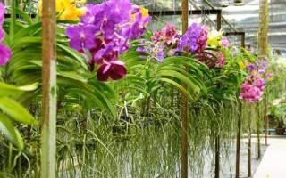 Можно ли обрезать воздушные корни у орхидеи