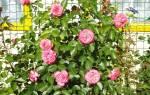 Розы для западной Сибири