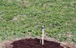 Уход за вишней весной – как вырастить здоровые деревья?