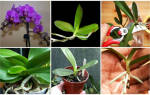 Как размножить орхидею в домашних условиях через цветонос