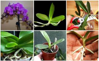 Как вырастить орхидею из черенка в домашних условиях