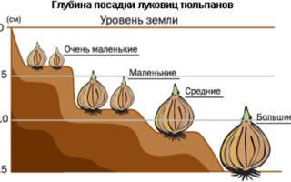Как правильно посадить тюльпаны осенью на даче?