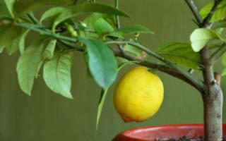 Чем удобрять лимонное дерево?