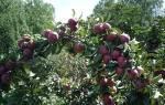 Выращивание колоновидных яблонь в Сибири