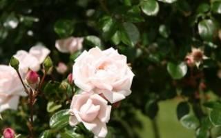 Розы Остина лучшие сорта для Сибири