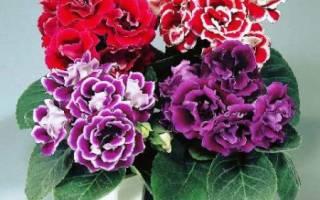 Глоксиния садовая посадка и уход