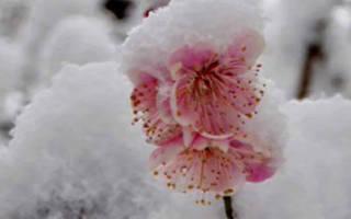 Сорта сливы для Сибири самоплодные