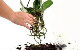 Пересаживать ли орхидею