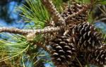 Можно ли из шишки сосны вырастить дерево?