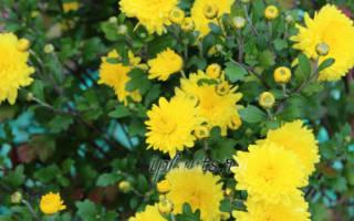 Хризантемы на дачном участке