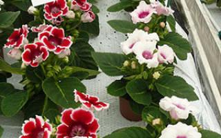 Семена глоксинии как посадить