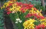 Как вырастить лилии на даче?
