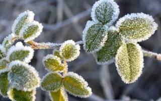 Как правильно укрывать ежевику и ежемалину на зиму?