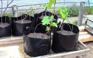 Как посадить виноград весной саженцами пошагово?