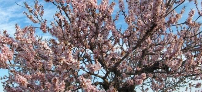 Как сажать миндальное дерево?