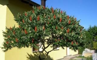 Как размножить уксусное дерево?
