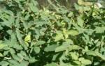 Посадка жимолости осенью саженцами