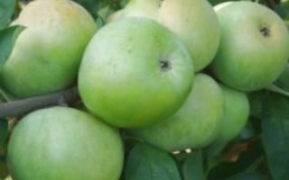 Как сделать саженец яблони из ветки?