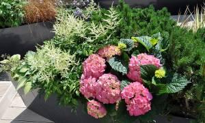 Гортензия выращивание на балконе