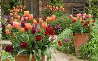 Как сажать тюльпаны на даче?