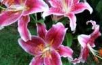 Посадка лилий весной – как ухаживать за растениями?