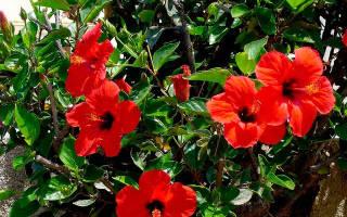 Когда цветет гибискус комнатный