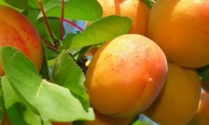 Лучшие сорта абрикоса для средней полосы России