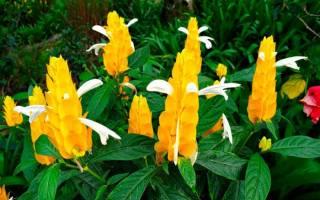 Комнатный цветок с желтыми цветами свечкой
