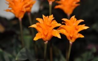 Цветок комнатный калатея
