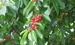 Посадка вишни осенью в Сибири