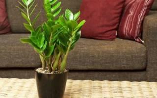 Замиокулькас уход в домашних условиях как сделать более кустистой