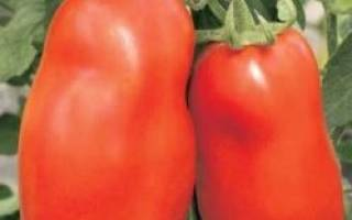 Сорт помидор колокола России