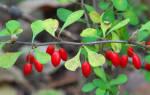 Какие плодовые кусты посадить на даче?