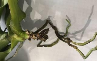 Как нарастить корни у орхидеи фаленопсис